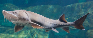 ID_LakeSturgeon_1200x490