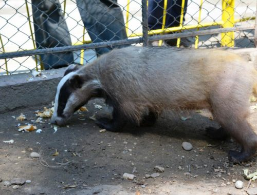 Dobri the badger is the newest resident of the Pavlikeni Zoo near Veliko Tarnovo