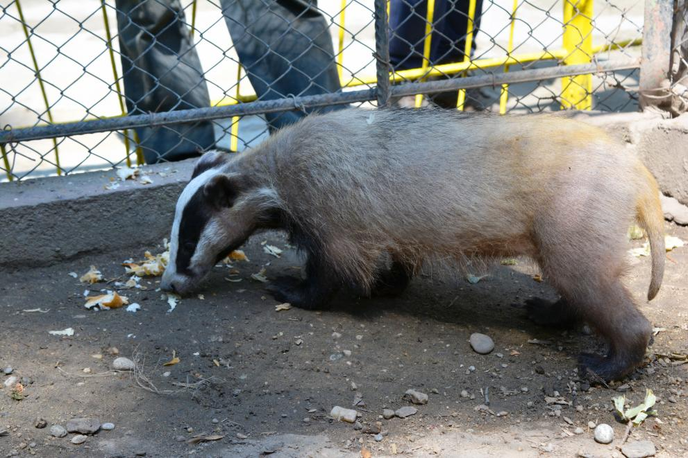 Dobri the badger is the newest resident of the Pavlikeni Zoo near Veliko Tarnovo