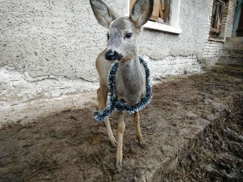 The baby deer Rem is the newest addition to the animal shelter in Hotnitsa