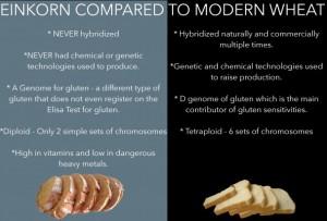 Einkorn-compared-to-modern-wheat-608x412